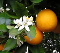 fiori e frutti d'arancio